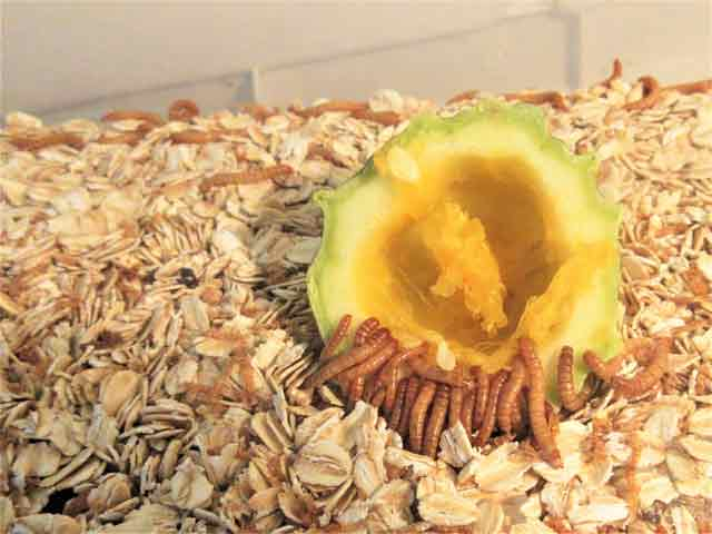 Mealworms eating Gourd