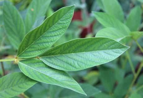 gandules nitrogen fixing leaf-min